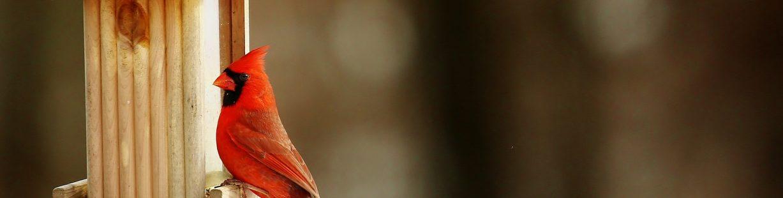 Image of red cardinal