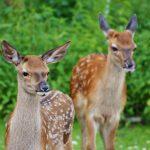 Image of two deer