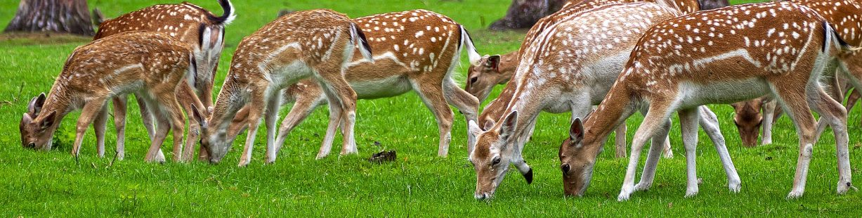 Image of a family of deer
