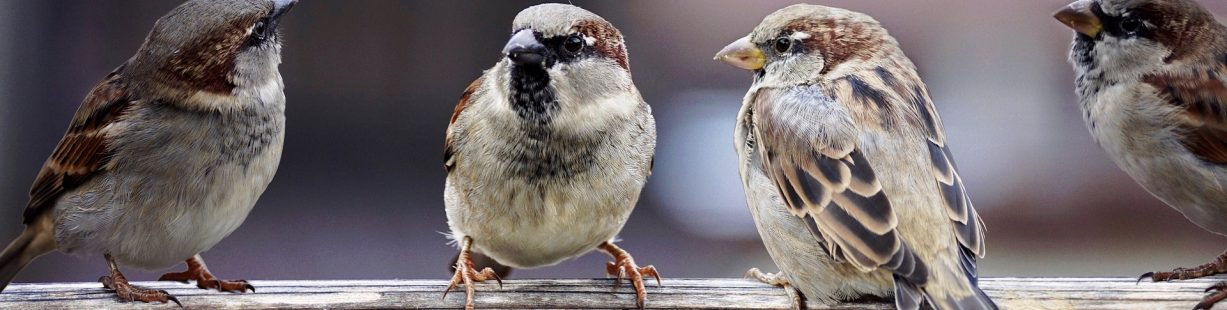 Image of four sparrows